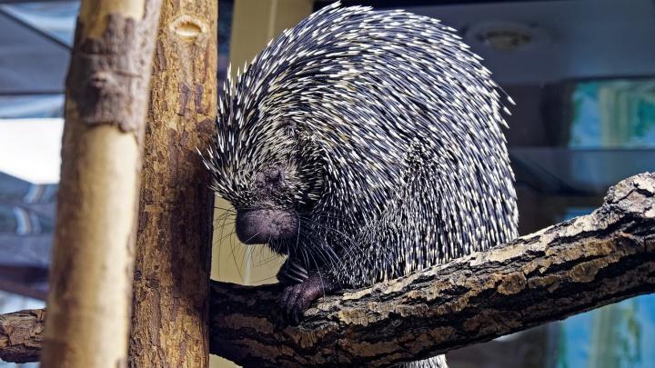 В Новосибирском зоопарке поселились необычные дикобразы с большими носами