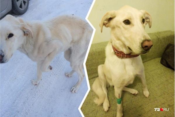 На фото слева пёс, когда его только подобрали с дороги. На правой фотографии — Лабрик во время лечения