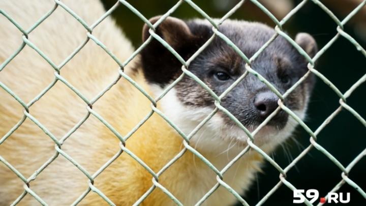 Харза дома. Хищного зверька, сбежавшего из зоопарка, поймали на Мотовилихинских заводах