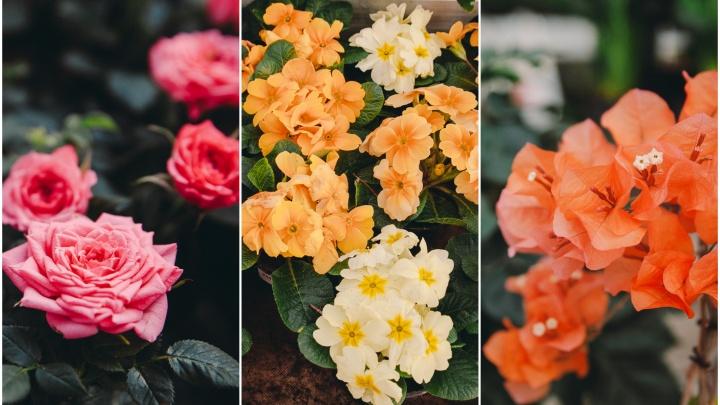 Где в Тюмени уже наступила весна: гуляем по оранжерее, заполненной цветущими розами и тюльпанами