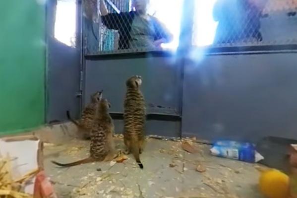 Сурикаты сначала не обращали внимания на камеру и смотрели на сотрудников зоопарка