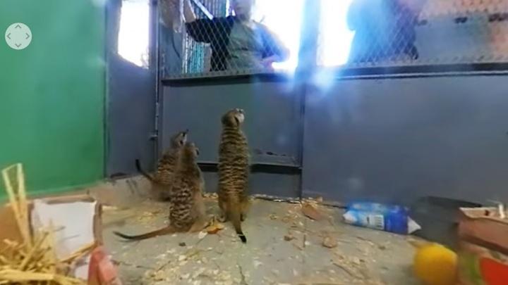 В зоопарке сняли милое видео с сурикатами в формате 360: зритель может сам двигать камеру
