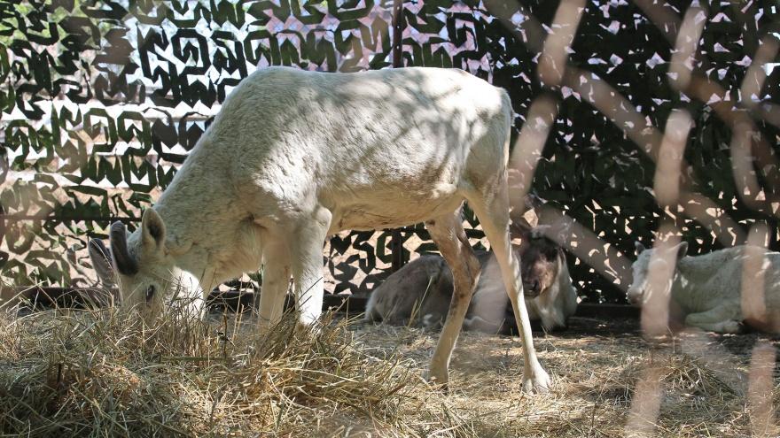 Умчал олень в свою страну оленью: исхудавших в Уфе животных увезли в Якутию