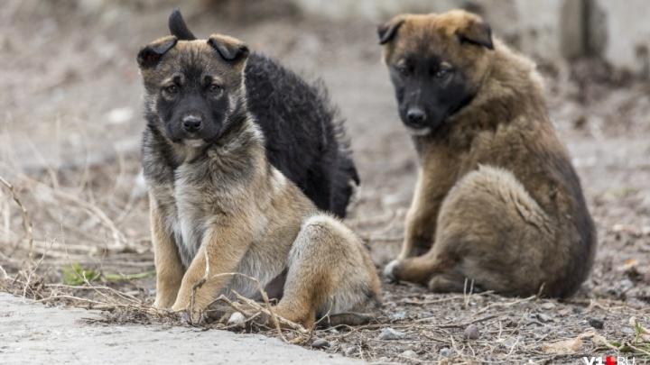 «Бросает еду даже у забора»: волгоградцы боятся ходить мимо прикормленной у детского сада стаи собак