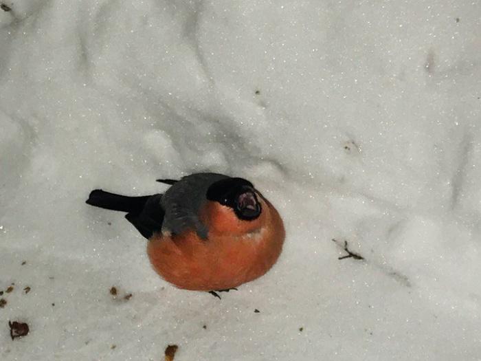 Снегирь сидел возле сугроба и едва шевелился