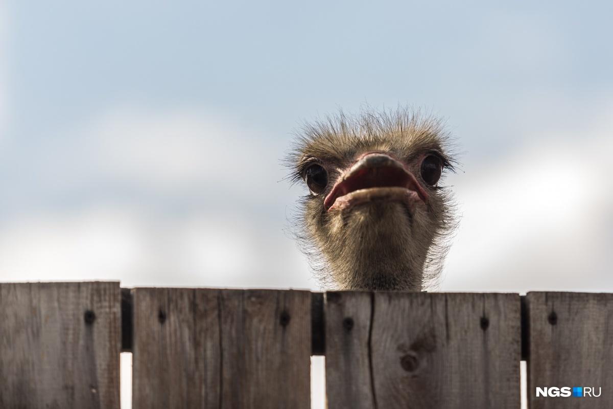 Песка не напасешься: как живет семья, которая воспитывает страусов-гигантов