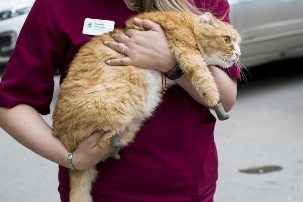 Ветеринары установили в лапы животного специальные конструкции из титана, на которые позже прикрепили протезы, имитирующие кошачьи лапы