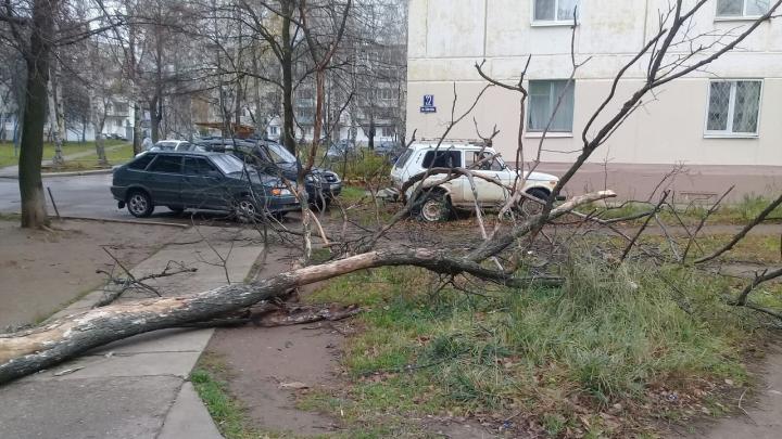 В Чайковском сильный ветер повалил дерево на ребенка