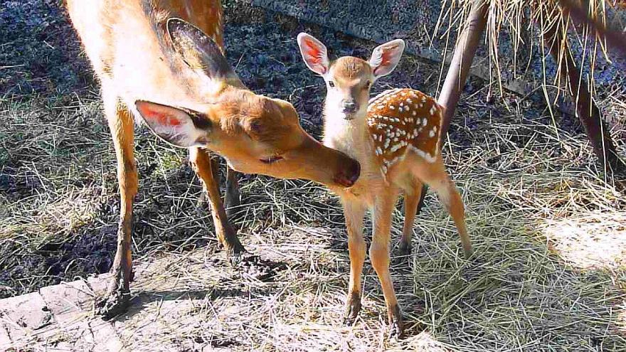 В Большереченском зоопарке родился третий за месяц оленёнок: на этот раз уссурийский пятнистый