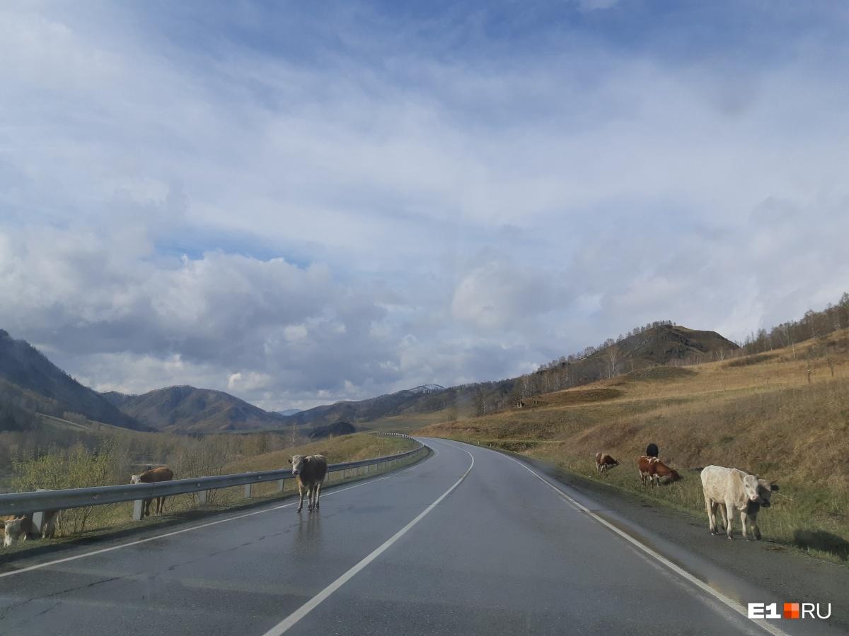 Кстати, по дорогам очень часто ходят коровы, лошади, овцы и козы