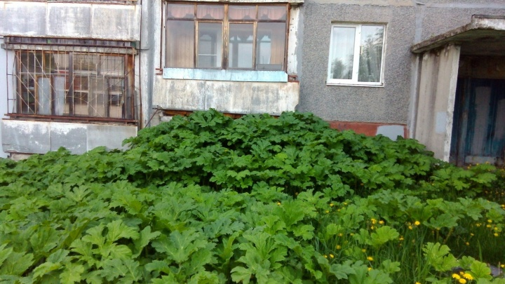 «Очень волнуемся за детей»: в Ярославле дворы зарастают смертельно опасным борщевиком