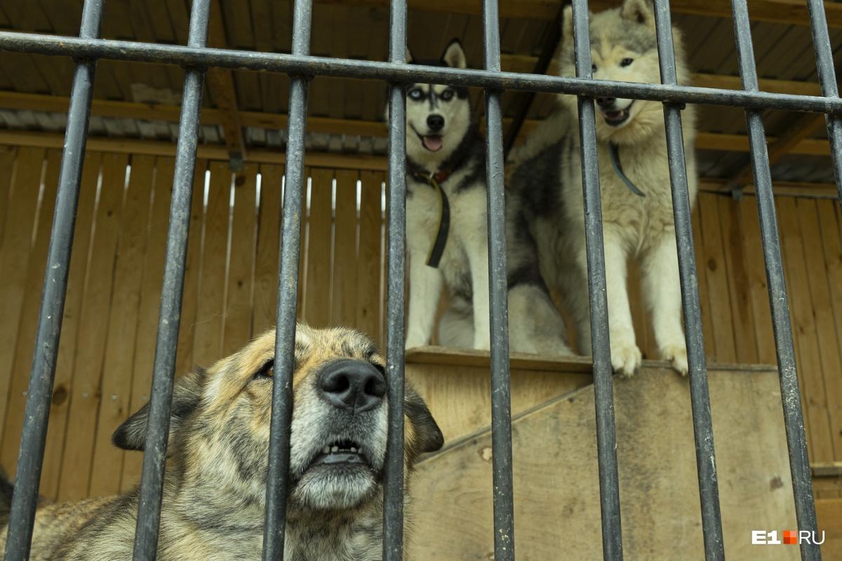 Дом голубоглазых отказников: как под Екатеринбургом спасают брошенных хаски и маламутов