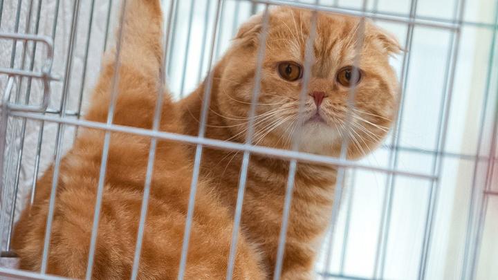 Посчитали в мейн-кунах и шотландцах: сколько котиков нужно продать для покупки квартиры в Челябинске