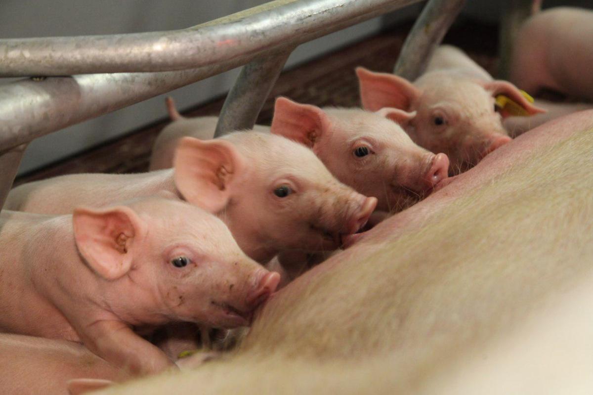 Свинокомплекс «Агроэлита» оснащен самым современным оборудованием, на предприятии обеспечивается максимальный уровень безопасности, соответствующий международным стандартам