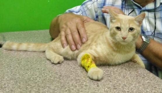Новосибирские ветеринары спасли рыжего кота Иннокентия, который проглотил рыболовный крючок