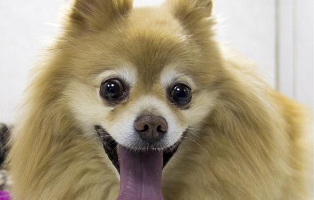 Пермские ветеринары впервые провели операцию по установке собаке стента в трахею