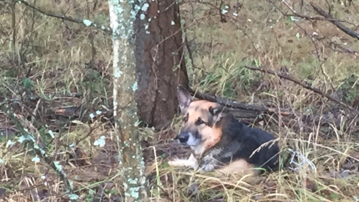 Пёс две недели ждал своего хозяина: жители окрестили его ярославским Хатико