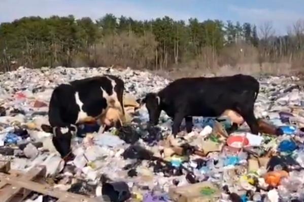 Среди пакетов и пластика пасутся коровы