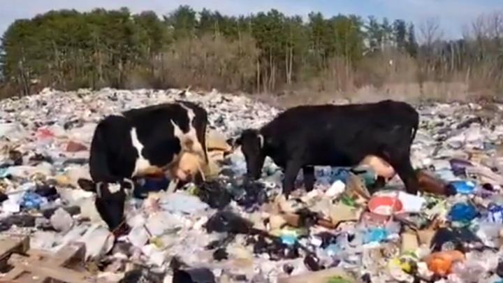 Коровы едят мусор: в национальном парке «Самарская лука» появилась несанкционированная свалка
