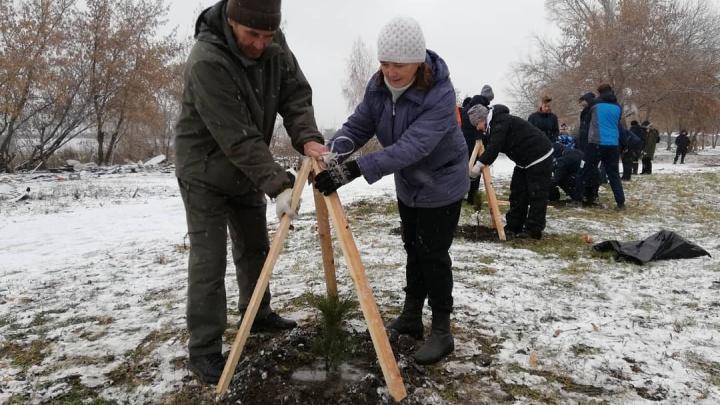 Новосибирцы высадили 2500 кедров в Кировском районе