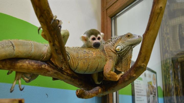 «Обнимаются, спят вместе»: в контактном зоопарке Екатеринбурга подружились обезьяна и игуана