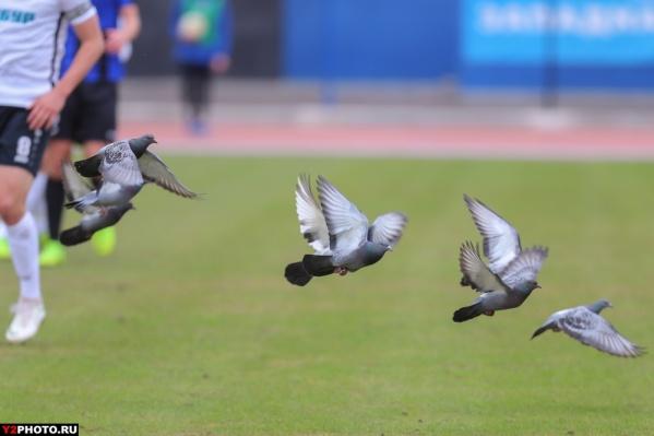 Одному голубю досталось за низкий пролёт над стадионом