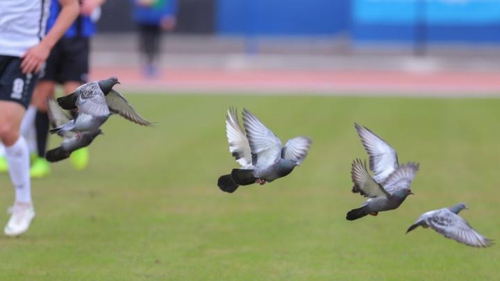 «Голубей больше не будет»: в «Шиннике» прокомментировали инцидент со сбитой футболистом птицей