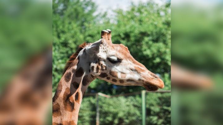 В Ростовском зоопарке за 1,5 миллиона рублей отремонтируют дом для жирафа