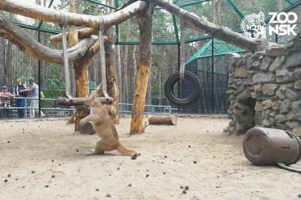 Сотрудники зоопарка сняли ролик, на котором София играет мешком, привязанным к качелям