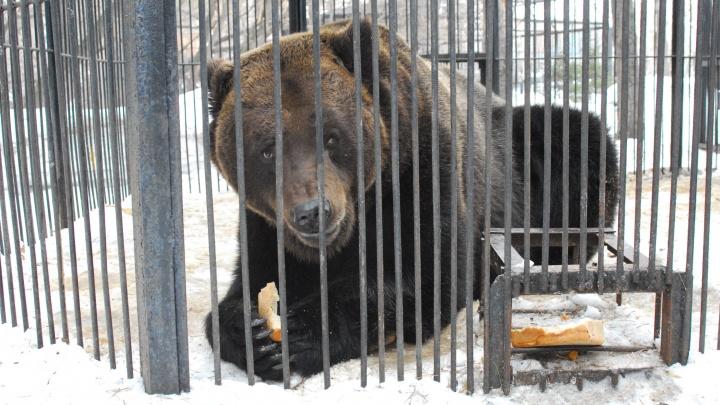 В зоопарке проснулись и зашевелились медведи и барсуки