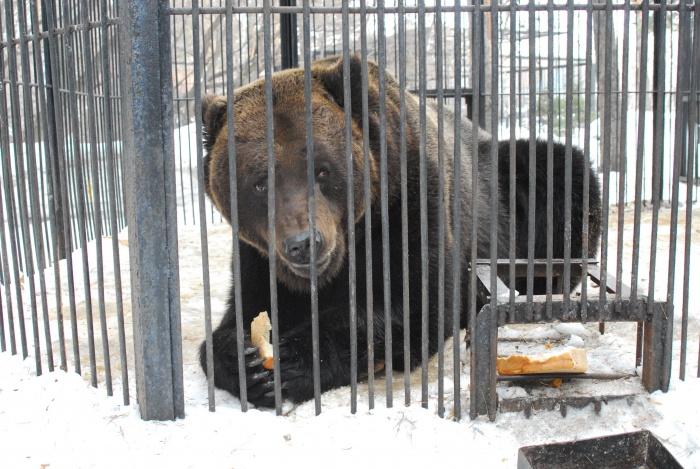Весна разбудила бурых медведей и барсуков