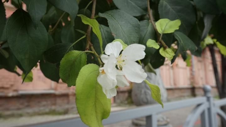 В центре Екатеринбурга в сентябре зацвели яблони