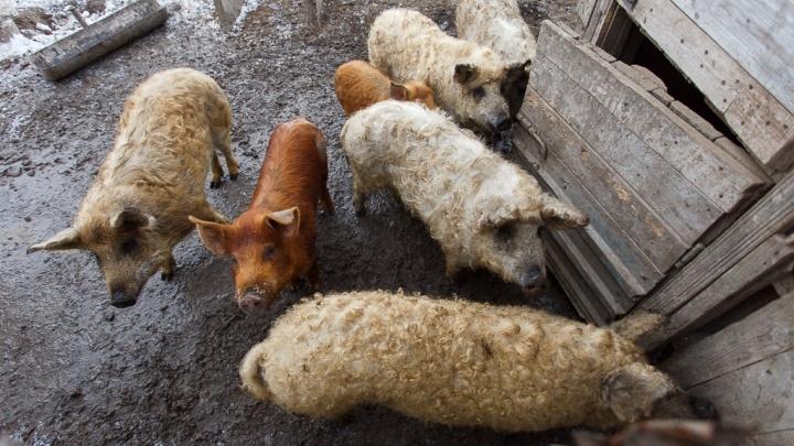 В Волгоградской области запретили разводить и продавать свиней