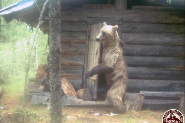 Медведь вел себя очень дерзко