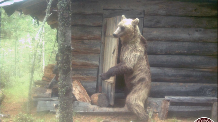 Фотоловушки в Саяно-Шушенском заповеднике сняли дерзкого медведя, хозяйничающего в лесной избушке