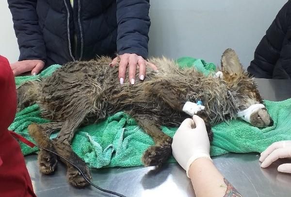 В Перми зоозащитники спасают сбитого на трассе лисенка