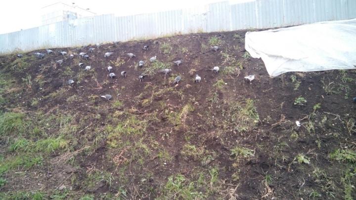 Стая голубей в «Солнечном» склевала высаженный к лету газон