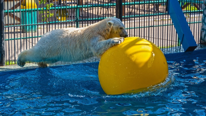 Белым медведям Феликсу и Авроре подарили большой желтый шар