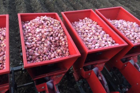 Сорт чеснока «шадейка» дает большой урожай, не боится морозов и хорошо хранится