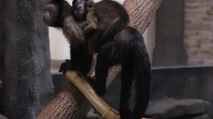 В Новосибирском зоопарке родились бурые капуцины