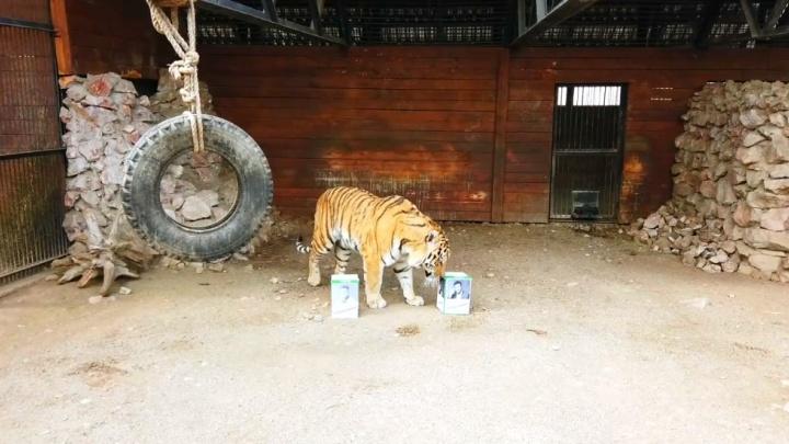«Второй тур»: тигр из зоопарка предсказал нового президента Украины по кускам мяса