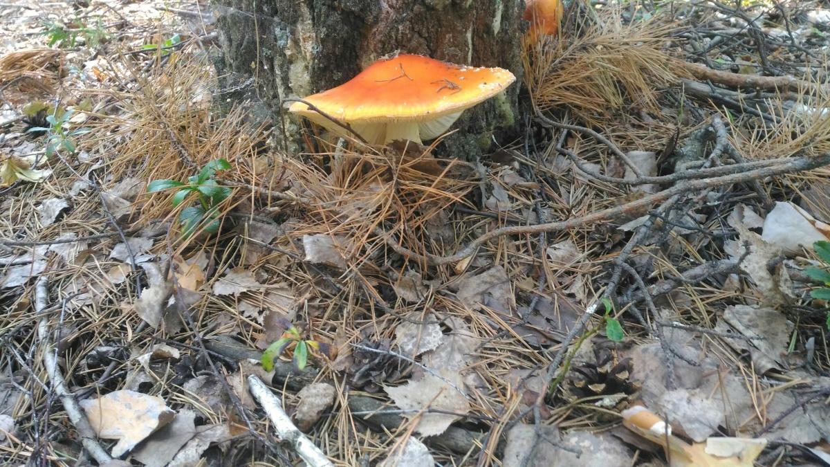 Мухоморы — предвестники белых грибов. Через пару-тройку дней в тюменских лесах их будет очень много