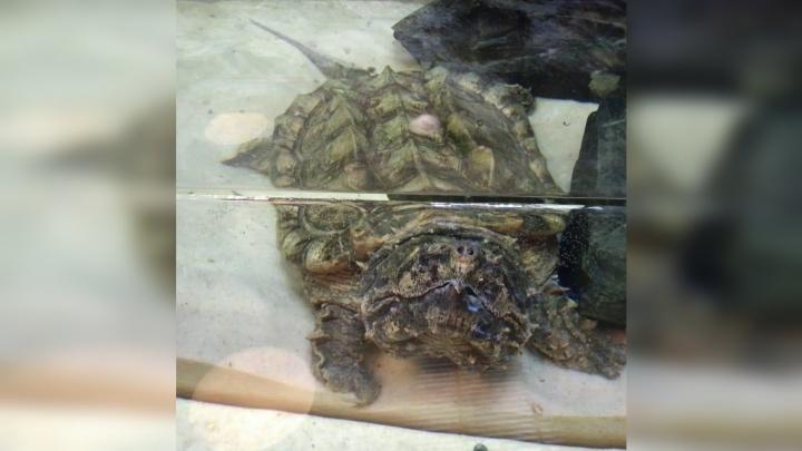 В океанариум привезли огромную и злую черепаху Матильду
