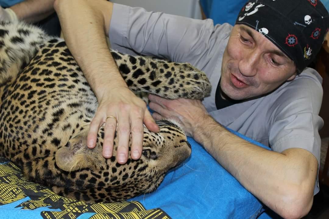 На этом фото ветеринар Вячеслав Тебеньков с леопардом, которому несколько лет назад удалил большую опухоль и тем самым продлил жизнь