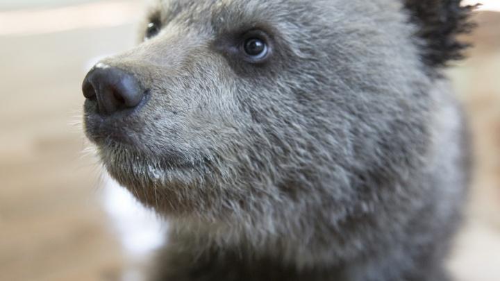 На трассе в Башкирии автомобиль сбил медвежонка