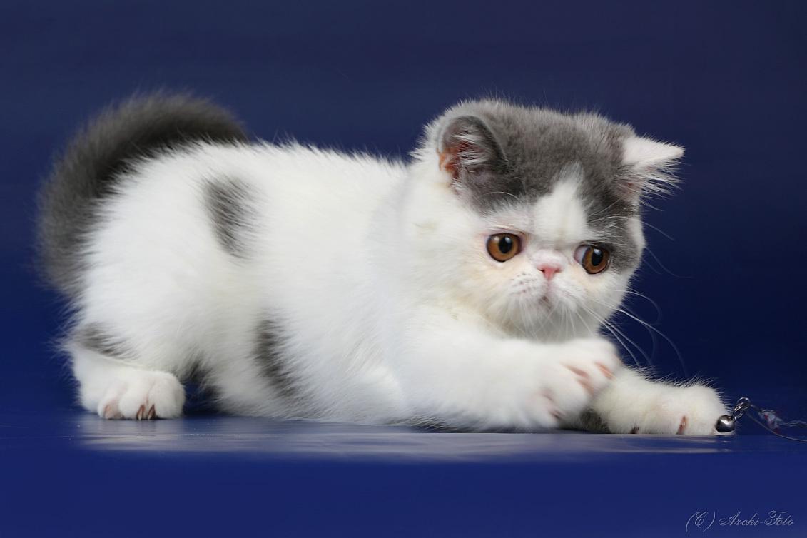 коронавирус у котенка что это