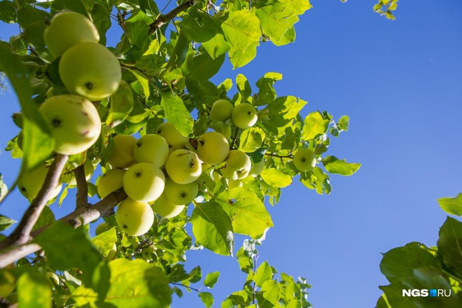 Садом занимается хозяйка дома, у Елены здесь плодоносят яблони, смородина и крыжовник, наливаются цветом калина и рябина, высажены сосны, голубые ели, дубы и кустарник, который часто путают с жасмином из-за аромата, — чубушник.